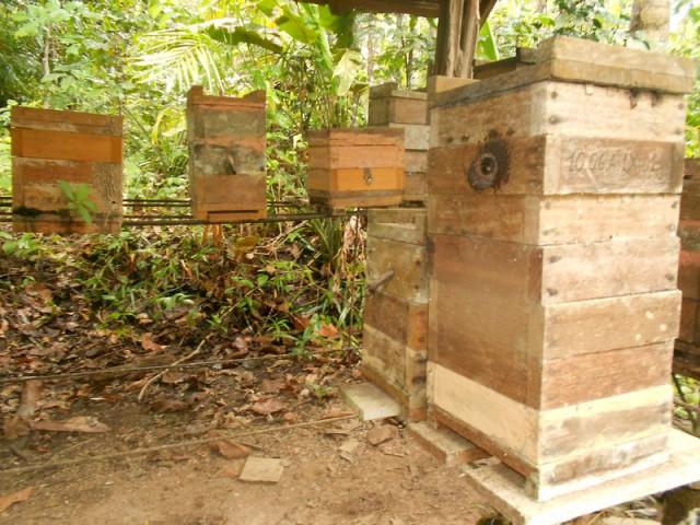 Pesquisa revela que abelhas-sem-ferrão amazônicas defendem meliponários contra saques de outras abelhas